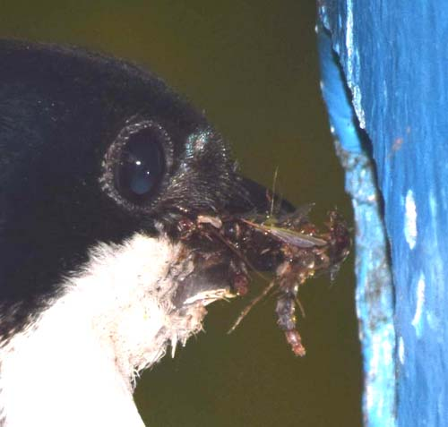 Tree swallow incubating in nest box